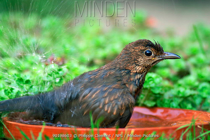 Female Blackbird bathing in garden (Turdus merula) Belgium  -  Philippe Clement/ npl