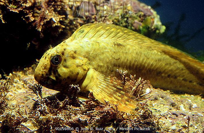 Rock pool blenny yellow colour phase (Parablennius sanguinolentus) Mediterranean  -  Jose B. Ruiz/ npl