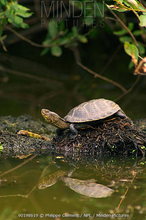 European pond turtle beside water (Emys orbicularis) France  -  Philippe Clement/ npl