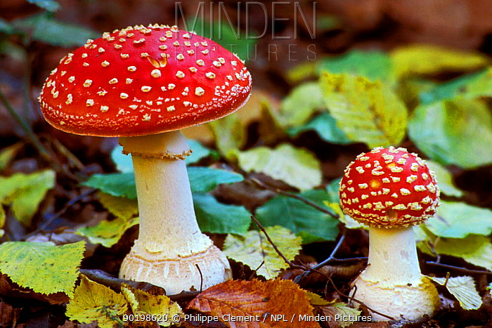 Fly agaric toadstools (Amanita muscaria) Belgium  -  Philippe Clement/ npl