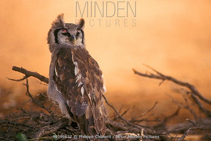 Giant eagle owl eyes closed looking backwards (Bubo lacteus) South Africa Kalahari  -  Philippe Clement/ npl