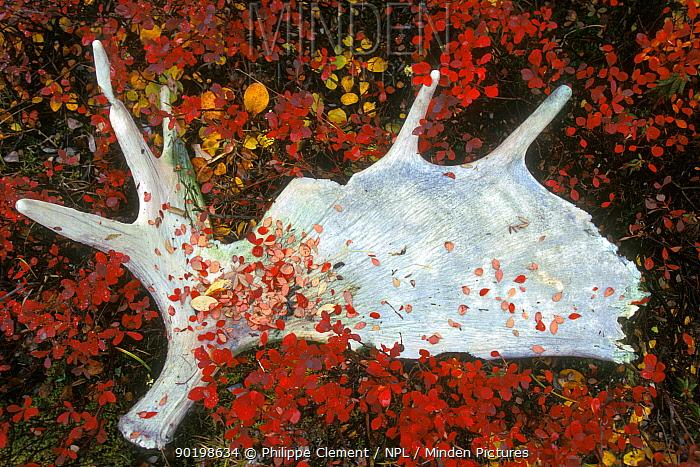 Shed Moose antler (Alces alces) Denali NP Alaska USA  -  Philippe Clement/ npl