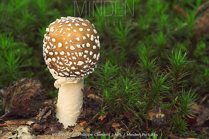 Panther cap fungus (Amanita pantherina) Belgium  -  Philippe Clement/ npl