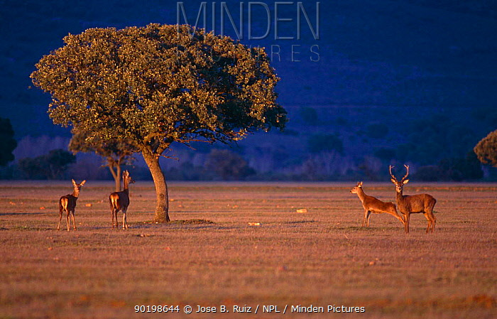 Red deer (Cervus elaphus) stag and three does, Cabaneros NP, Ciudad Real, Spain  -  Jose B. Ruiz/ npl