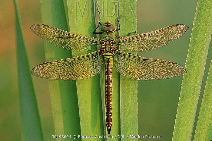 Emperor dragonfly (Anax imperator) Belgium  -  Bernard Castelein/ npl