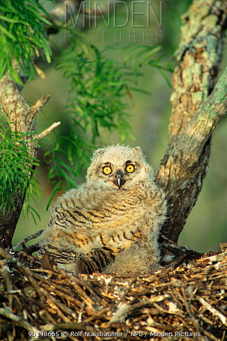Young Great horned owl chick in nest (Bubo virginianus) Rio Grande Valley Texas USA  -  Rolf Nussbaumer/ npl