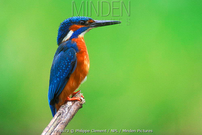 Common kingfisher, male perched (Alcedo atthis) Belgium  -  Philippe Clement/ npl
