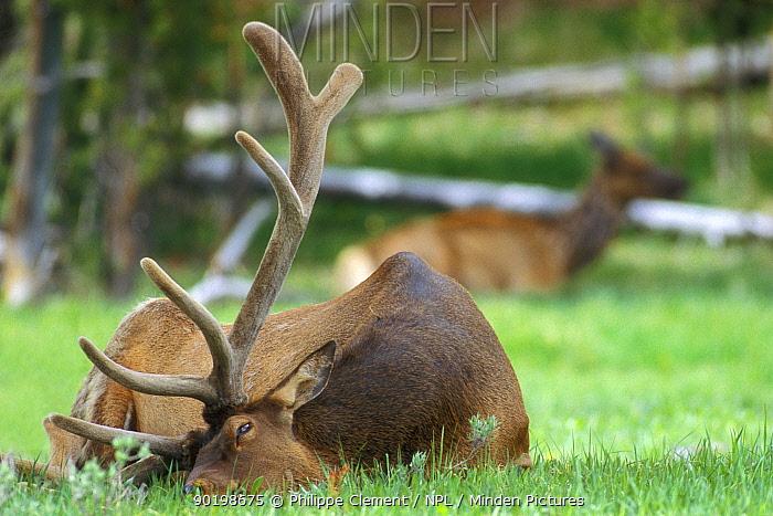 Elk stag resting (Cervus elaphus) Yellowstone, Wyoming, USA  -  Philippe Clement/ npl