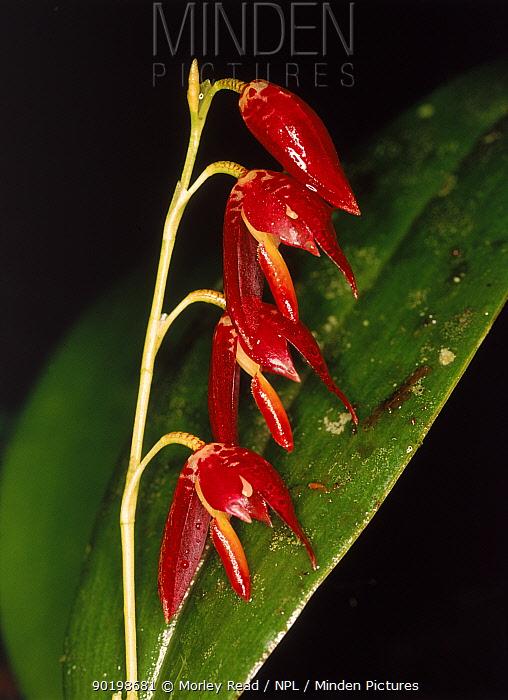 An orchid (Pleurothallis sp) in cloud forest West Ecuador, South America  -  Morley Read/ npl