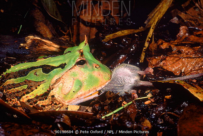 Amazon horned frog (Ceratopyrys cornuta) eating mouse (sequence: 1, 2) Ecuador, South America  -  Pete Oxford/ npl