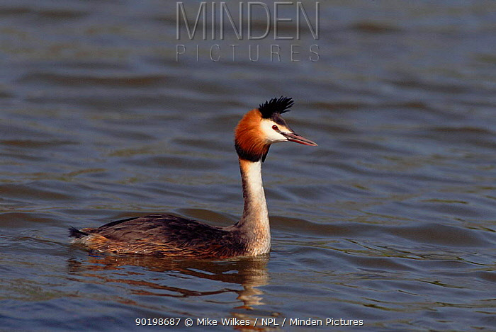 Great crested grebe (Podiceps cristatus) on water Worcestershire, England, UK, Europe  -  Mike Wilkes/ npl