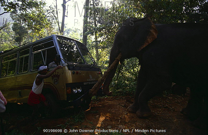 Domestic Indian elephant (Elephas maximus) towing coach out of ravine, India  -  John Downer/ npl