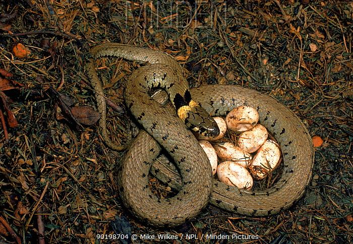 Grass snake guarding its eggs, UK  -  Mike Wilkes/ npl