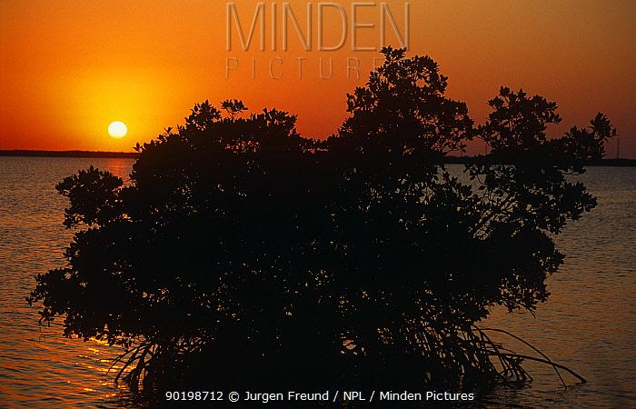 Red mangrove tree at sunrise(Rhizophora mangle) Florida Everglades NP, USA  -  Jurgen Freund/ npl