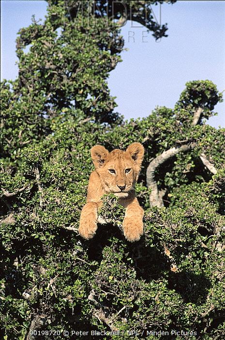 Six-month old lion cub in gardenia tree Masai Mara Kenya  -  Peter Blackwell/ npl