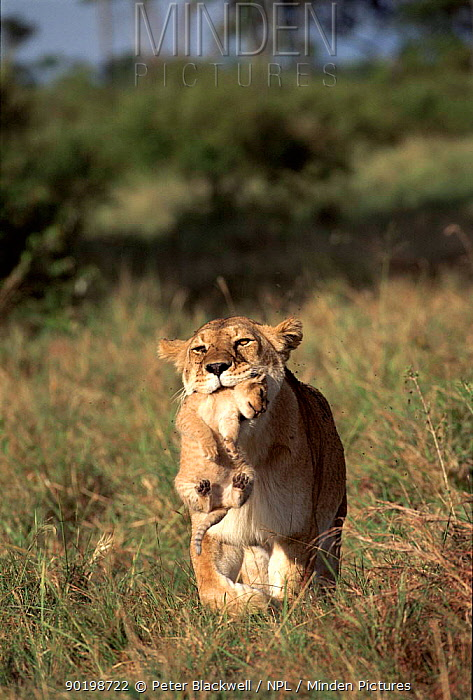 Lioness carries month-old cub Masai Mara, Kenya  -  Peter Blackwell/ npl
