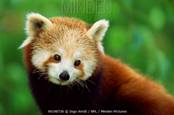 Red panda face portrait (Ailurus fulgens) captive occurs Tibet, China  -  Ingo Arndt/ npl