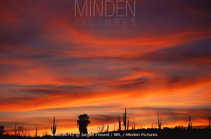 Cardon cactus and palm tree silhouette at sunset, Baja California, Mexico  -  Jurgen Freund/ npl