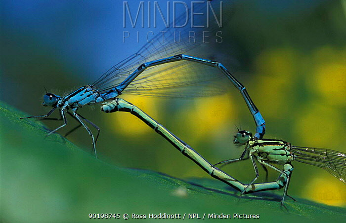 Common blue damselflies mating (Enallagma cyathigerum) Cornwall, UK  -  Ross Hoddinott/ npl
