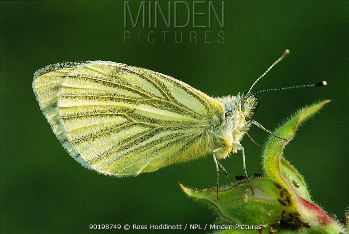 Green veined white butterfly (Pieris napi) Cornwall, UK  -  Ross Hoddinott/ npl