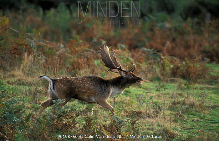 Fallow deer stag in rut (Dama dama) New Forest, Hampshire UK  -  Colin Varndell/ npl