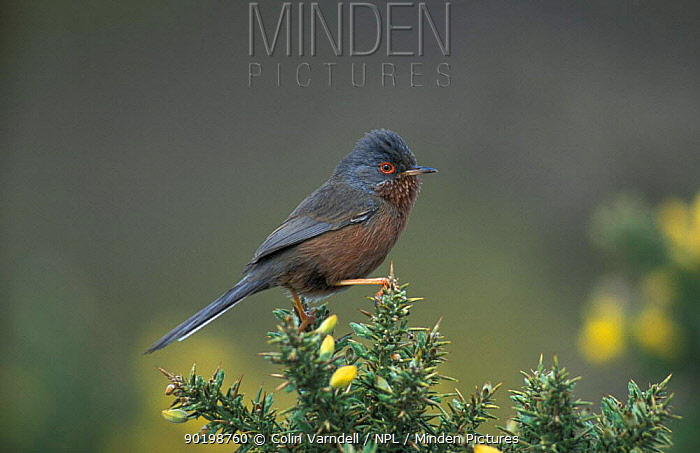 Dartford warbler male on gorse (Sylvia undata) UK  -  Colin Varndell/ npl