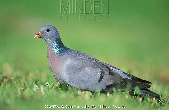 Stock dove (Columba oenas) UK  -  Colin Varndell/ npl