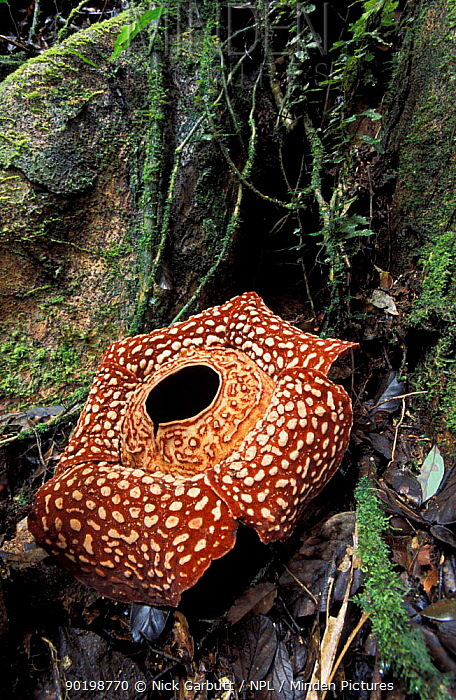 Rafflesia pricei flower, Sabah, Borneo  -  Nick Garbutt/ npl