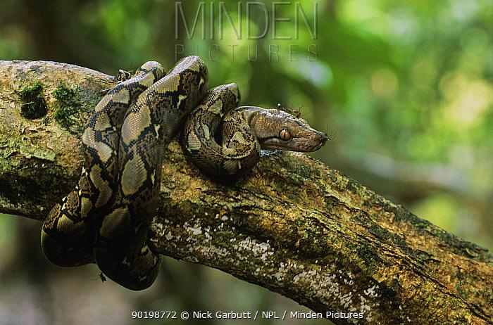 Reticulated python (Python reticulata) juvenile coiled round branch, Kinabatangan, Sabah, Borneo  -  Nick Garbutt/ npl