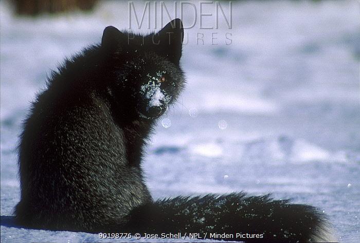 North American red fox in silver colour phase Canada  -  Jose Schell/ npl