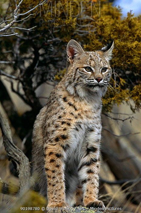 Bobcat (Felis rufus) captive, USA  -  David Welling/ npl