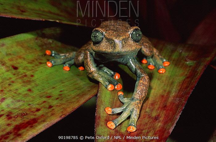 Treefrog on undesrtorey palm frond, River Napo Amazon Basin, Ecuador  -  Pete Oxford/ npl