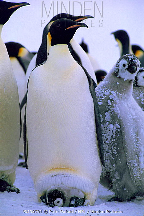 Emperor penguin with chick in brood pouch (Aptenodytes forsteri) Weddell Sea  -  Pete Oxford/ npl