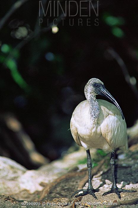 Juvenile Aldabran sacred ibis (Threskiornis aethiopicus) abbotti Aldabra, Seychelles  -  Pete Oxford/ npl