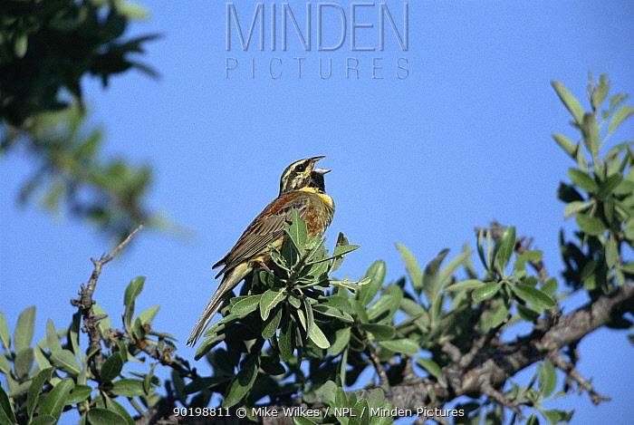 Male cirl bunting singing (Emberiza cirhus) Lesbos Greece  -  Mike Wilkes/ npl