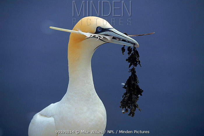Gannet (Morus bassana) with nest material UK Bass Rock July  -  Mike Wilkes/ npl