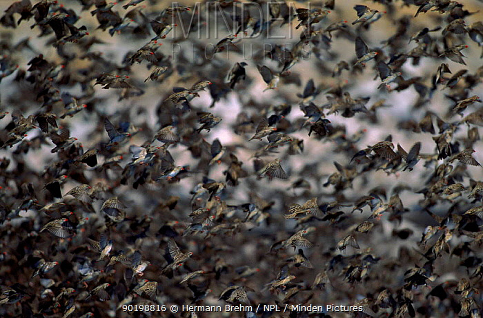 Dense flock of red billed quelea flying, Etosha NP, Namibia, Africa  -  Torsten Brehm/ npl