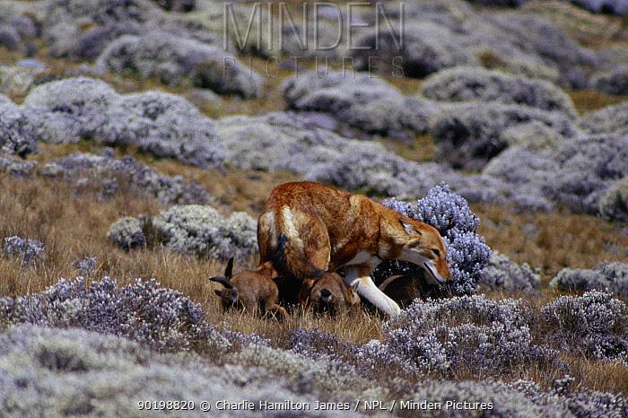Simien jackal, Ethiopian wolf with cub (Canis simensis) Ethiopia, Sanetti plateau Submissive posture  -  Charlie Hamilton James/ npl