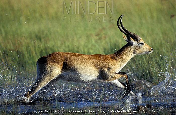 Red lechwe male running through swamp (Kobus leche) Khwai river, Moremi GR, Botswana  -  Christophe Courteau/ npl