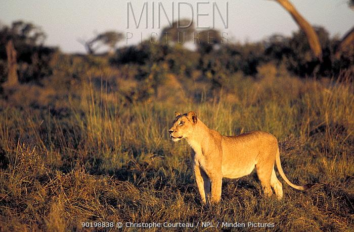 African lionesse (Panthera leo) watching prey, about to stalk Okavango delta, Botswana  -  Christophe Courteau/ npl