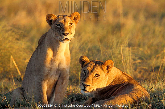African lionesses (Panthera leo) at dusk Okavango delta, Botswana  -  Christophe Courteau/ npl