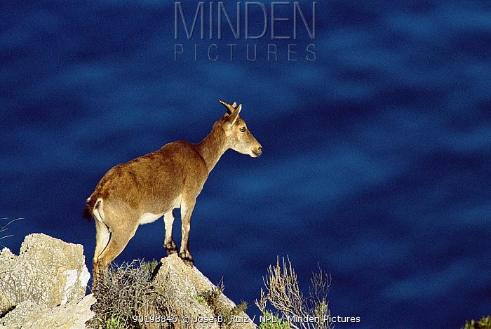 Spanish ibex on rocky outcrop (Capra pyrenaica) Pyrennees, Spain  -  Jose B. Ruiz/ npl