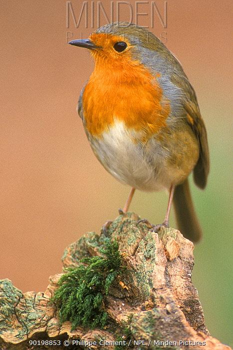 Robin portrait (Erithacus rubecula) Belgium  -  Philippe Clement/ npl