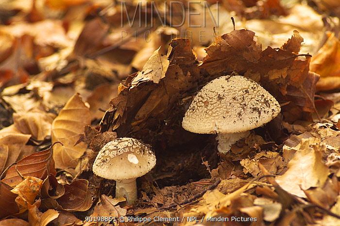 Stout amanita (Amanita excelsa) fungus Belgium  -  Philippe Clement/ npl
