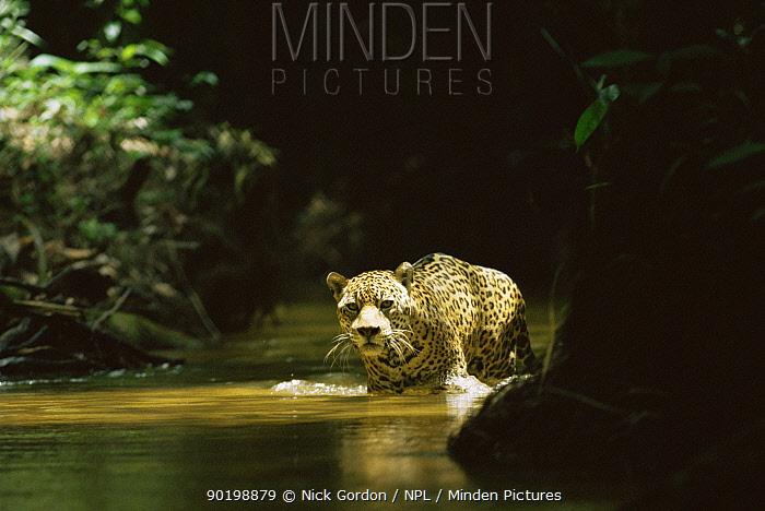 Wild Jaguar (Panthera onca) crossing stream in rainforest, Amazonia, Brazil  -  Nick Gordon/ npl
