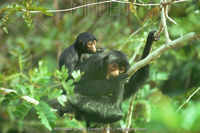 Spider monkey (Ateles belzebuth chamek) female with baby, Amazonia, Brazil  -  Nick Gordon/ npl