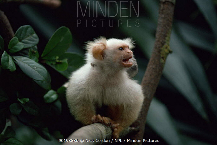 Silky, Golden white tassel ear Marmoset (Callitrix humeralifer chysoleuca), (Mico chrysoleuca) adult carrying baby on back, Amazonia, Brazil  -  Nick Gordon/ npl