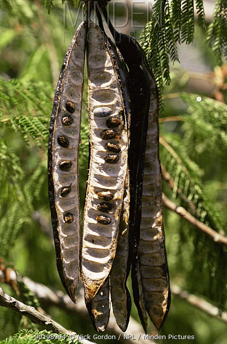Parkia tree pod opened to reveal seeds (Parkia pendula) Amazonia, Brazil  -  Nick Gordon/ npl