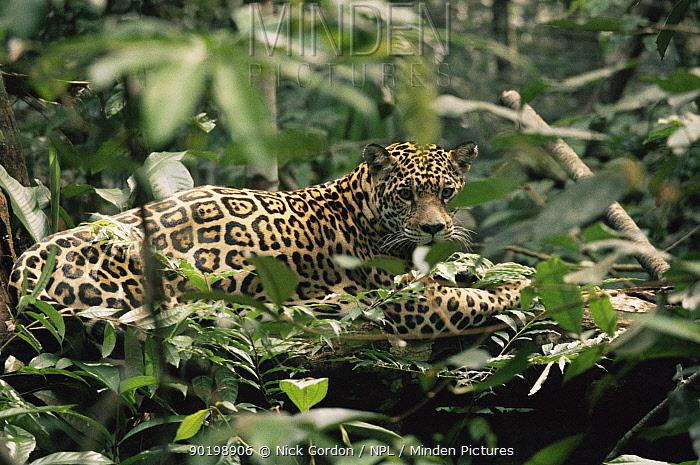 Wild jaguar at rest (Panthera onca) in undergrowth, Amazonia, Brazil  -  Nick Gordon/ npl