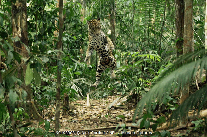 Jaguar (Panthera onca) jumping up in air to catch insects, Amazonia, Brazil, sequence 2, 2 Captive  -  Nick Gordon/ npl